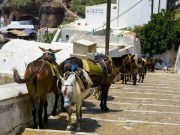 Donkeys to go up and down to the ports in Santorini